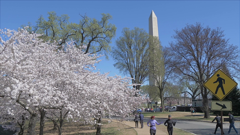 Crane shot of cherry blossom and Washington Monument, Washington DC, District of Columbia, USA, North America