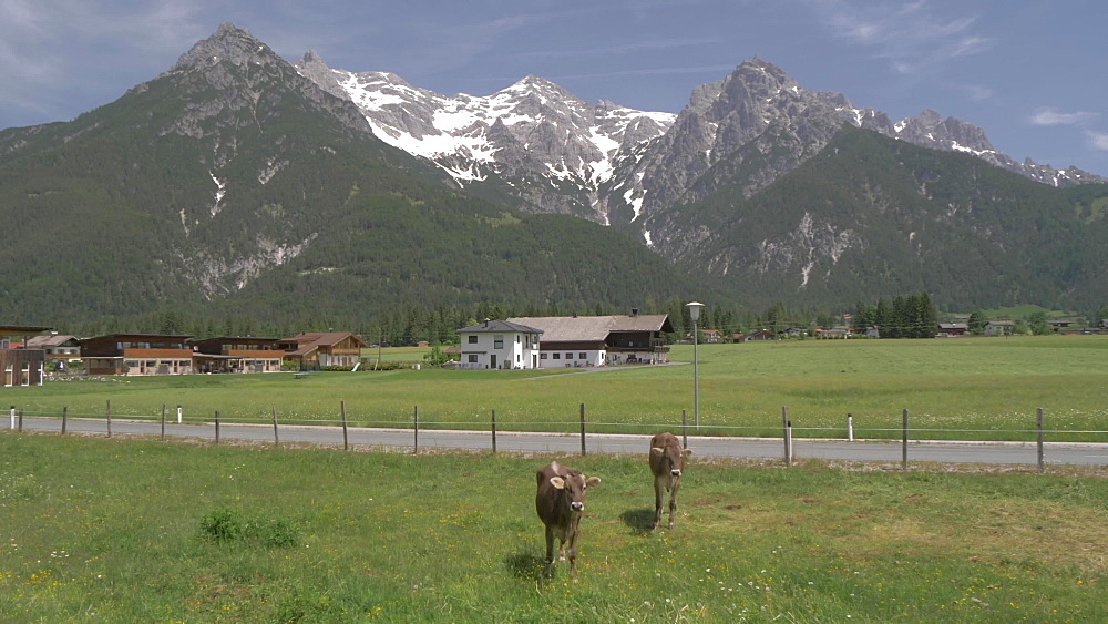 Cows, mountains and meadows near Ulrich am Pillersee, Austrian Alps, Tyrol, Austria, Europe