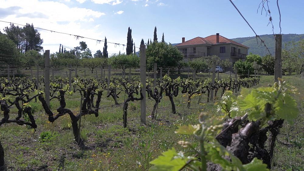 Vineyard and scenery near Sokol Tower on a sunny spring day, Dunave, Croatia, Europe