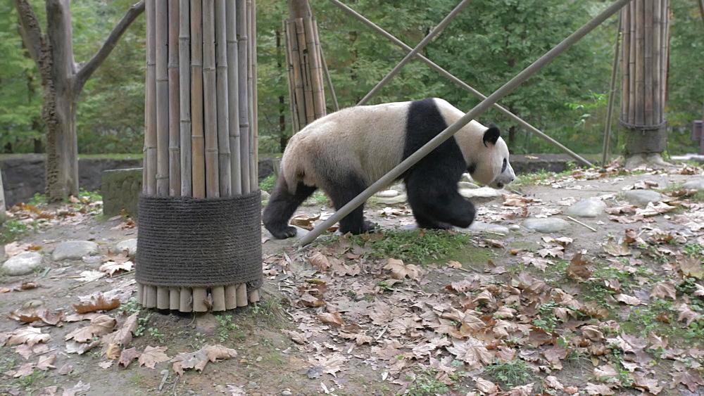 Giant Panda in the Dujiangyan Panda Base Chengdu, Sichuan Province, People's Republic of China, Asia