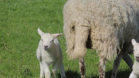 Lambs near Wardlow, Derbyshire, England, UK, Europe