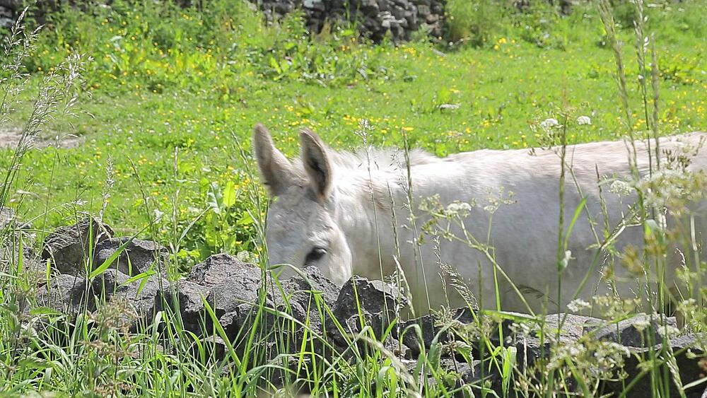 Donkey grazing near Monyash, Peak District National Park, Derbyshire, England UK, Europe