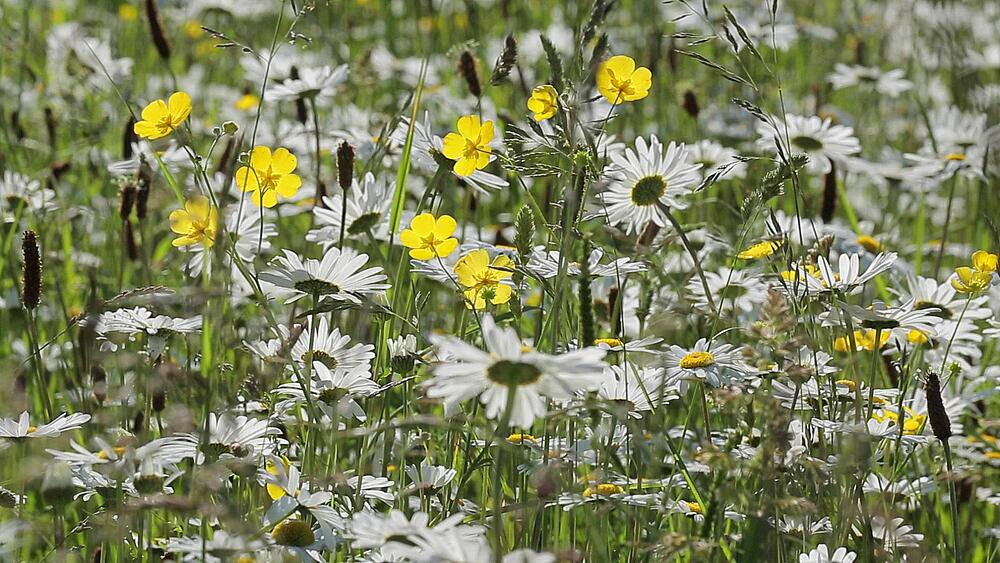 Daisies, Peak District National Park, Derbyshire, England UK, Europe