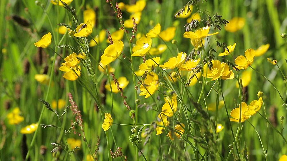 Buttercups, Peak District National Park, Derbyshire, England UK, Europe