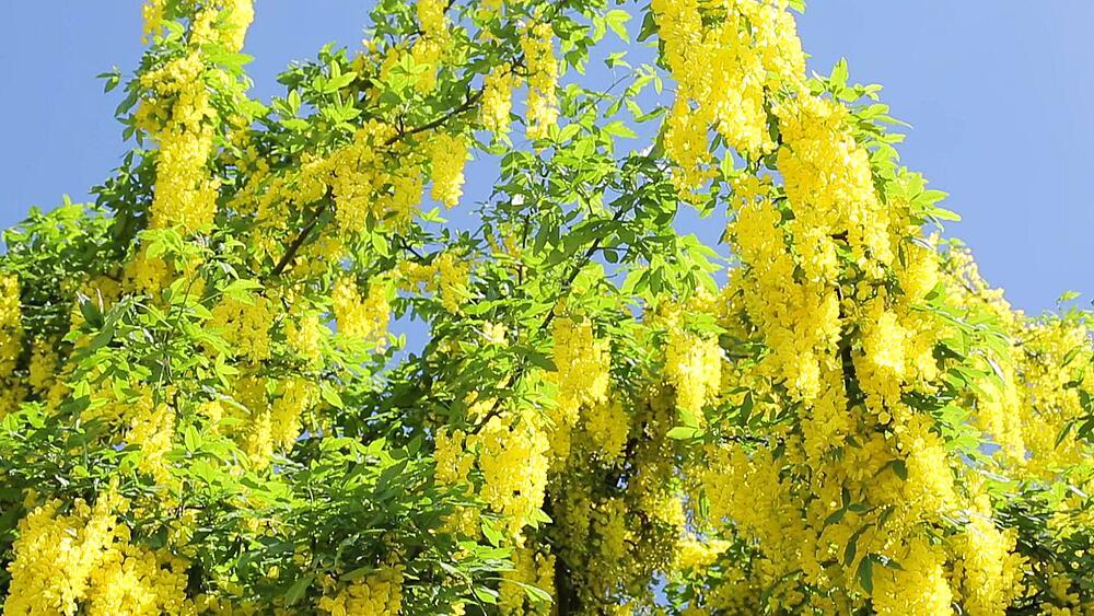 Summer Blossom near Bolsover Castle, Derbyshire, England UK, Europe