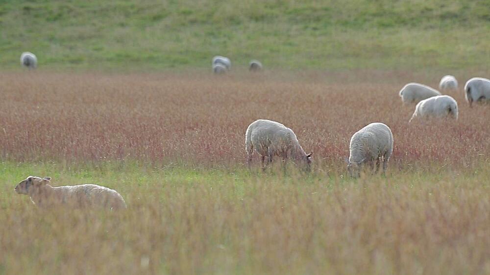 Sheep grazing in Chatsworth Park, Derbyshire, England, UK, Europe
