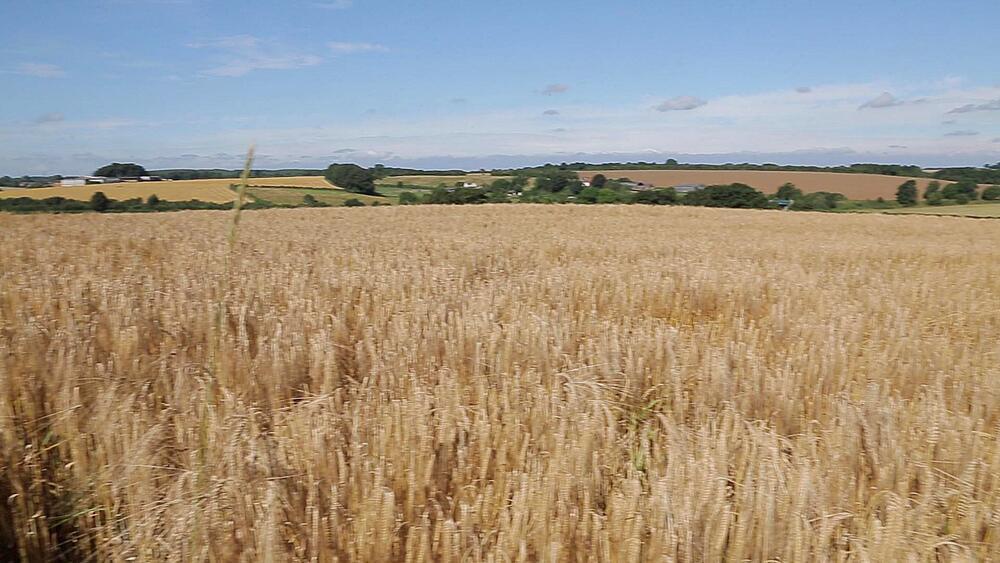 Corn Field near Chesterfield, Derbyshire, England, UK, Europe