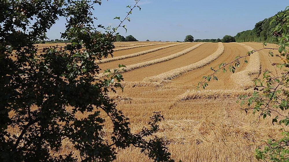 Ripe Barley Field near Mansfield, Nottingham, Nottinghamshire, England, UK, Europe