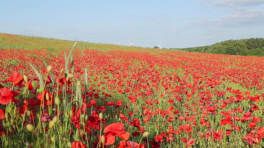 Poppy Field near Mansfield, Nottinghamshire, England, UK, Europe