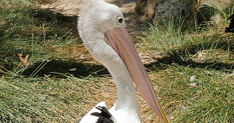 Pelicans in Adelaide Zoo, Adelaide, South Australia, Australia