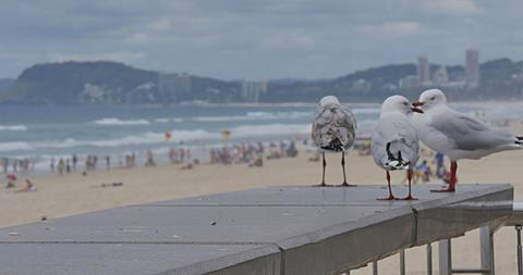 Seagull on The Esplanade, Surfers Paradise, Gold Coast, Queensland, Australia