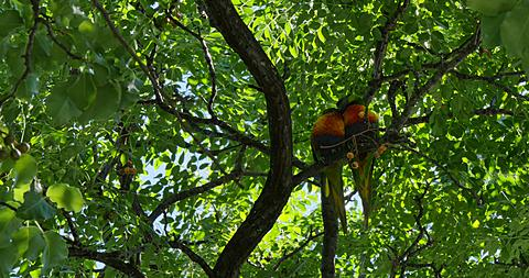 Colourful Parrots in tree, Adelaide, South Australia, Australia