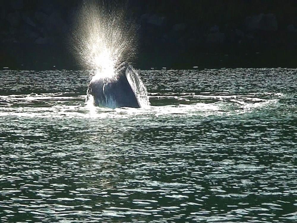 Bottlenosed dolphins (Tursiops truncatus). breach. Tobermory. Mull. UK. 15/07/09 - 888-13
