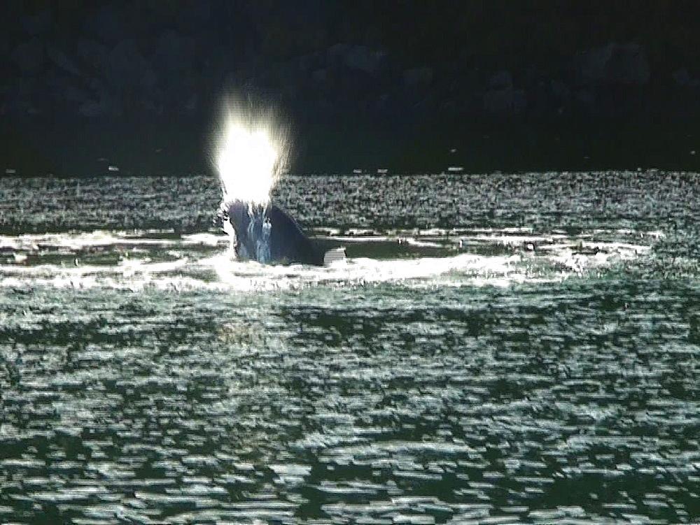 Bottlenosed dolphins (Tursiops truncatus). splashing. Tobermory. Mull. UK. 15/07/09 - 888-14