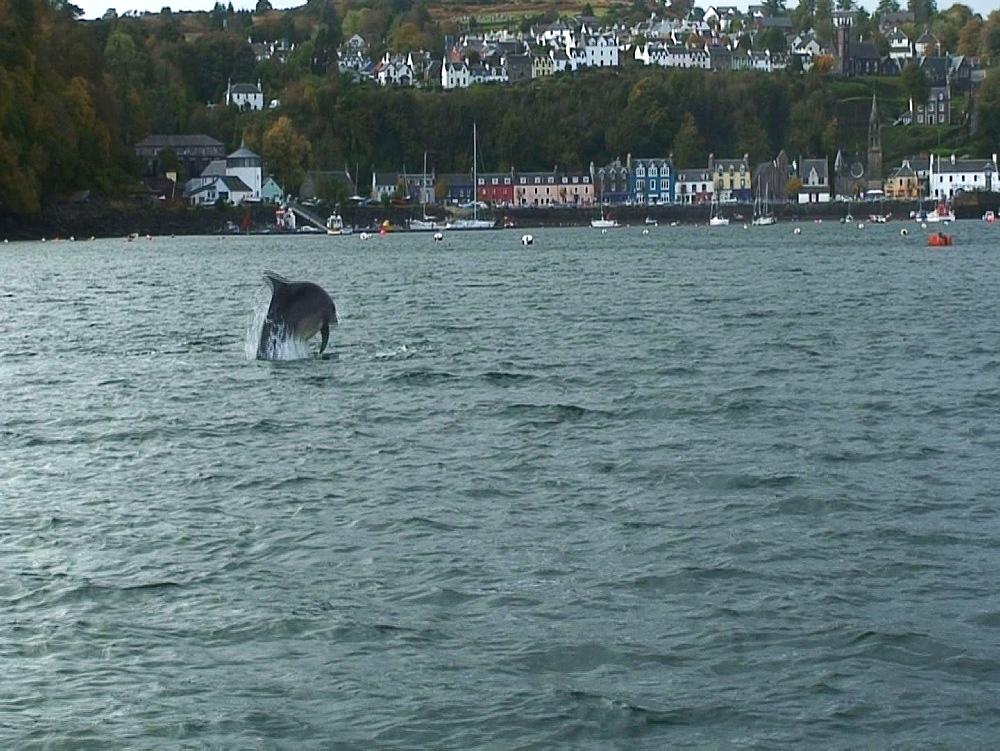Bottlenosed dolphins (Tursiops truncatus). breach. Tobermory. Mull. UK. 15/07/09 - 888-15