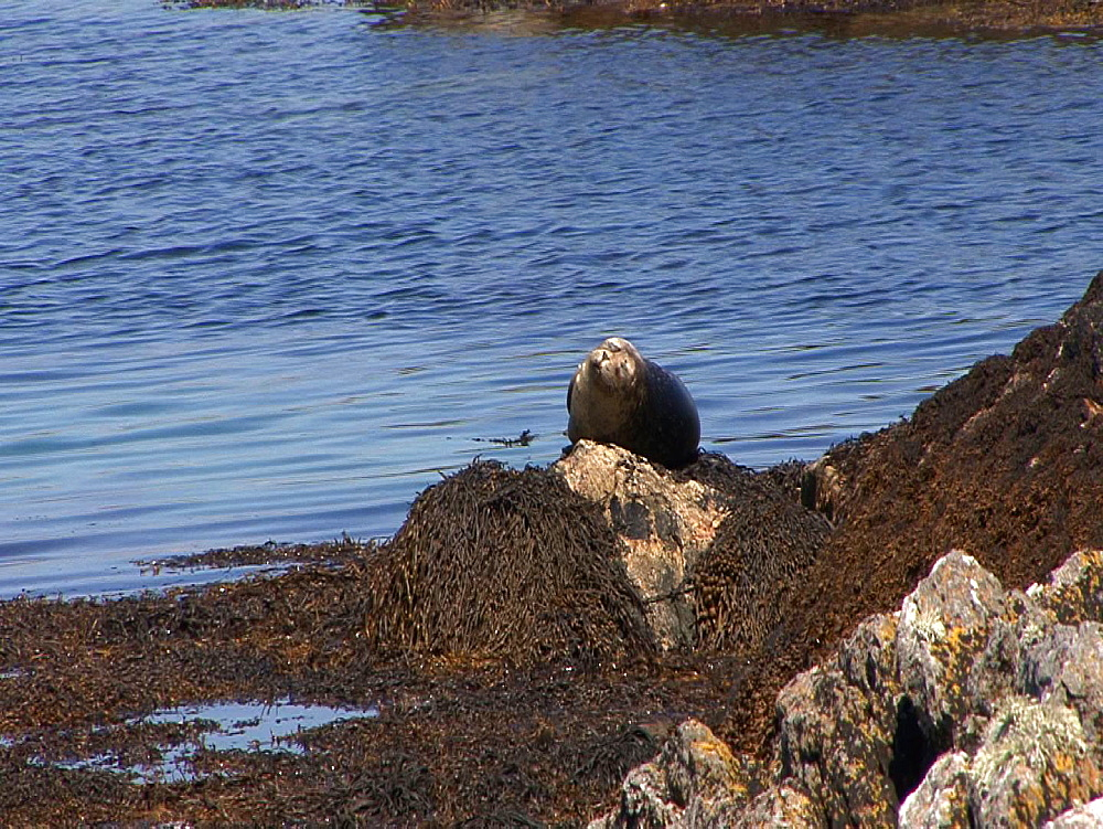 Common seal (Phoca vitulina) basks. Tobermory. Mull. UK. 15/07/09 - 888-17