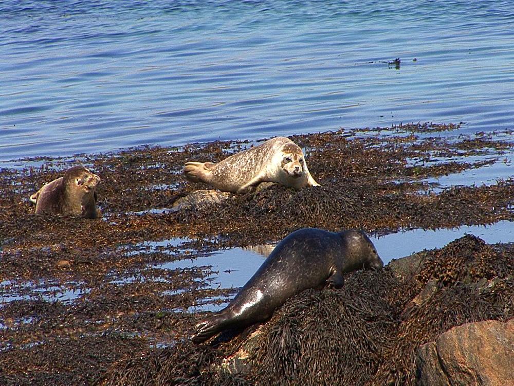 Common seals (Phoca vitulina) bask. Tobermory. Mull. UK. 15/07/09 - 888-18