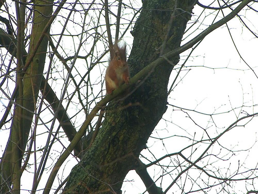 Red squirrel (Sciurus vulgaris) . Endangered. Inner Hebrides. UK. 06/08/08 - 888-22