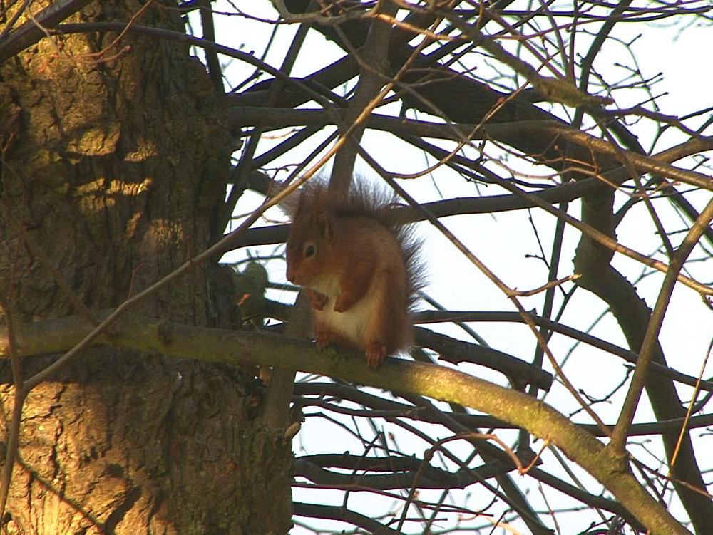 Red squirrel (Sciurus vulgaris) . Endangered. Inner Hebrides. UK. 06/08/08 - 888-24