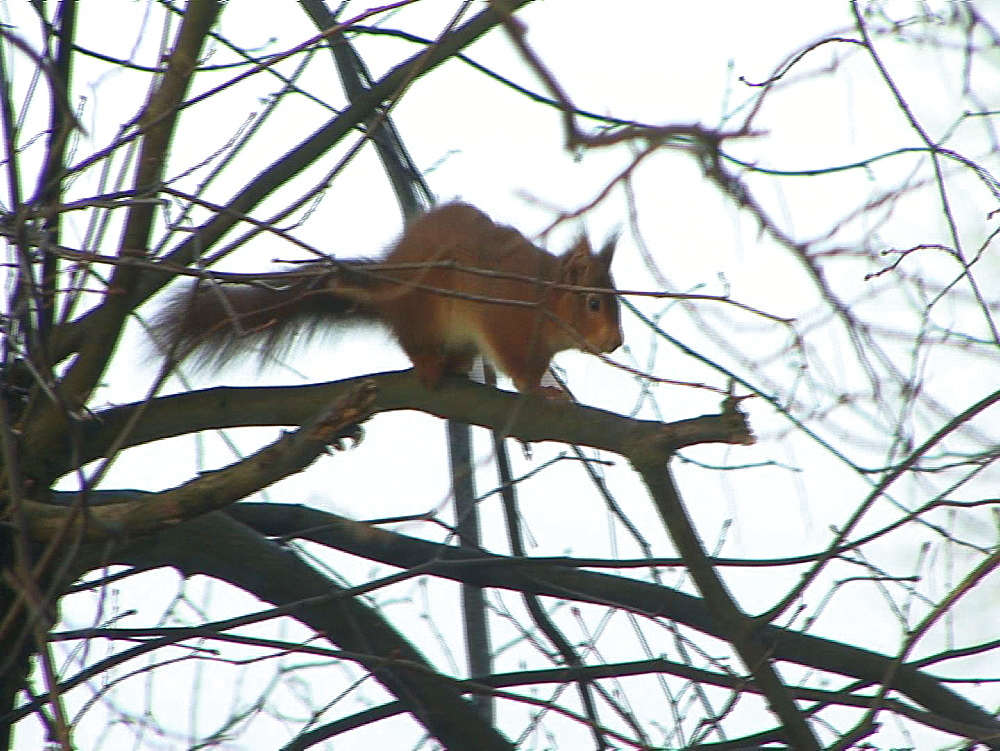 Red squirrel (Sciurus vulgaris) . Endangered. Scent marking and agitated tail swishing. Inner Hebrides. UK. 06/08/08 - 888-25