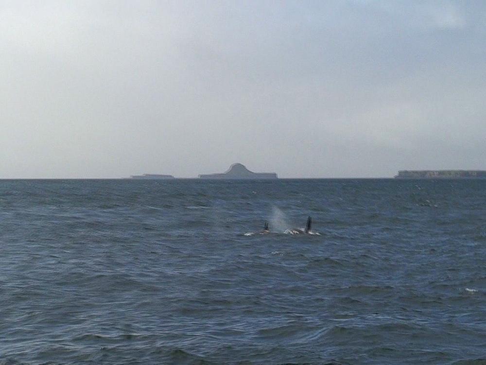 Killer whale (Orca orcinus) pod. Inner Hebrides. UK. 06/08/08 - 888-26