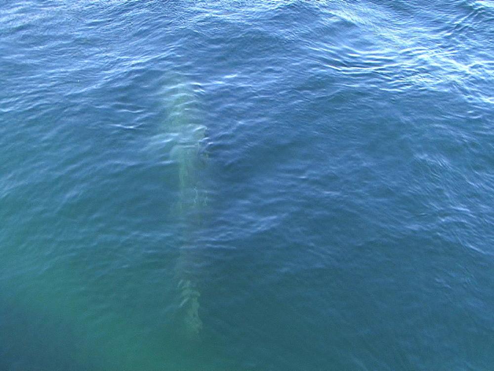 Basking shark (Cetorhinus maximus) seen through water surface. UK coastal waters. North Atlantic. 06/08/08 - 888-27