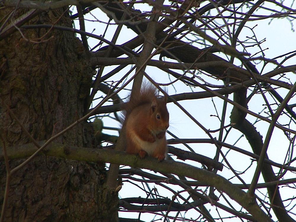 Red squirrel (Sciurus vulgaris) . Endangered. Inner Hebrides. UK. 06/08/08 - 888-28