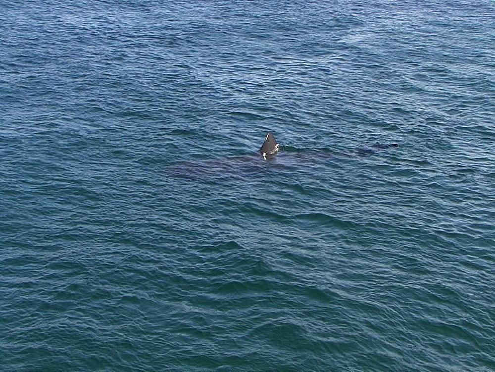 Basking shark (Cetorhinus maximus) fin at surface. UK coastal waters. North Atlantic. 06/08/08 - 888-31
