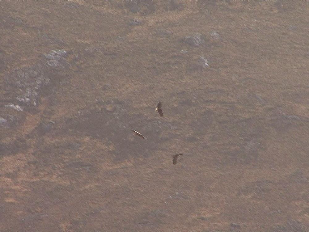 Golden eagles (Aquila chrysaetos). Endangered. Three birds fly and talon grapple. Inner Hebrides. UK. 06/08/09