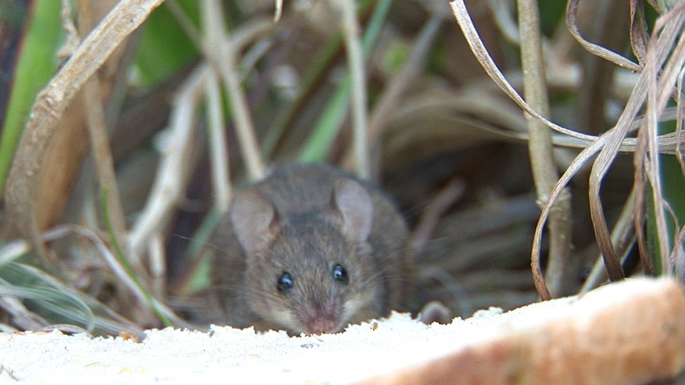 Common mice (Mus musculus) nibble at sandwich.  Alien species. Australia