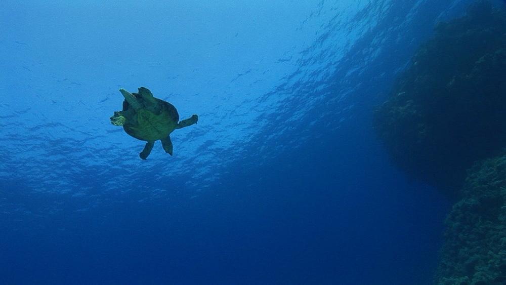 Hawksbill turtle (Eretmochelys imbricata). Endangered species. swims. Red Sea - 945-431