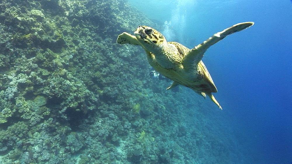 Hawksbill turtle (Eretmochelys imbricata). Endangered species. swims. Red Sea - 945-449