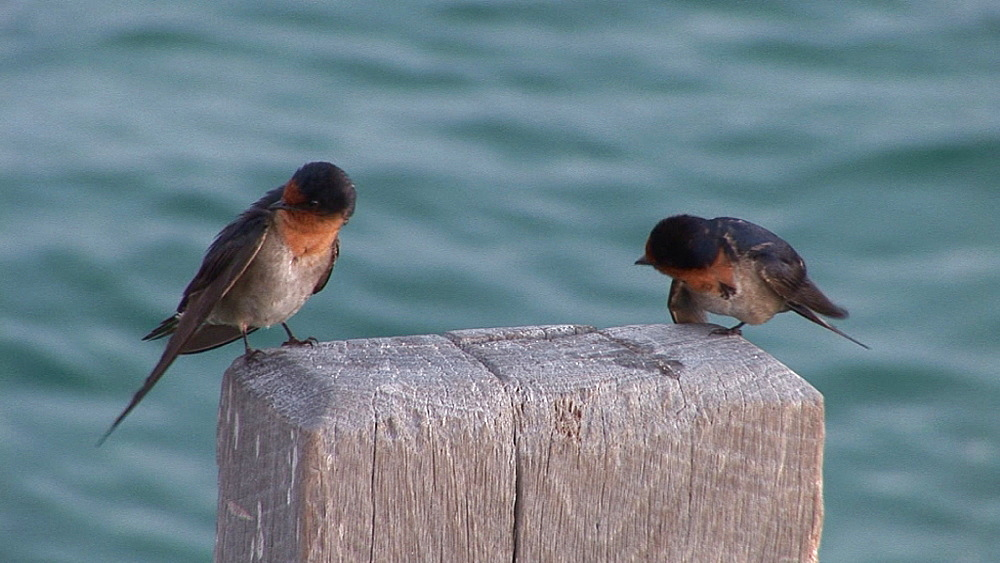 Welcome Swallow (Hirundo neoxena) young birds preening.  Australia