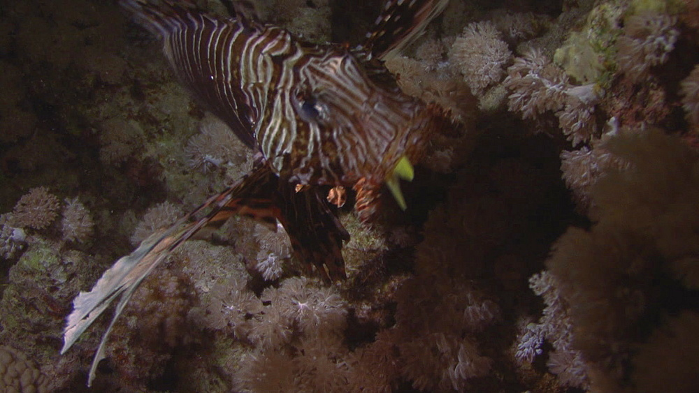 Lion fish (Pterois miles)fish sticking out of mouth, red sea, Egypt