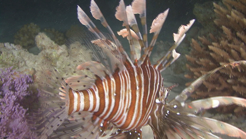 Lion fish(Pterois miles) in hunting mode at night ,Red sea, Egypt - 958-1018