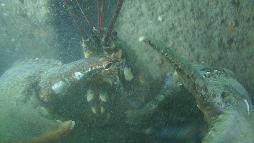 Lobster (Homarus gammarus) masive, attacks, on wreck, English channel, UK