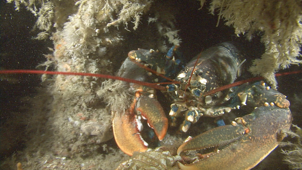 lobster(Homarus gammarus) with catch, on wreck, English channel, UKremoving crab placed by camera team