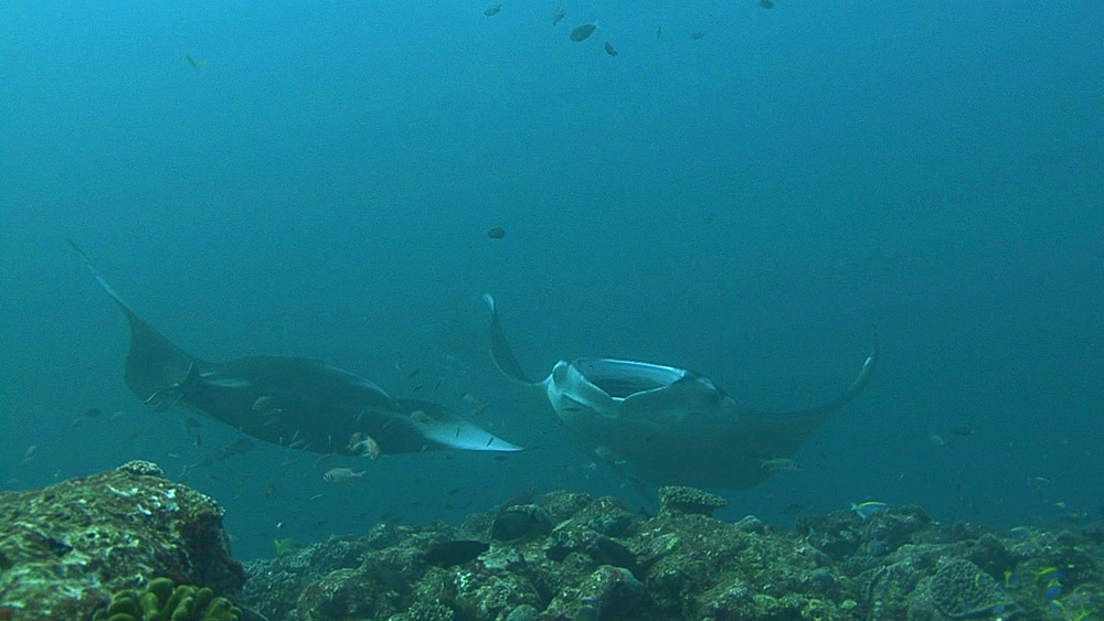 Manta (Manta biristris) comes by close over cleaning station, Indian ocean, Maldives