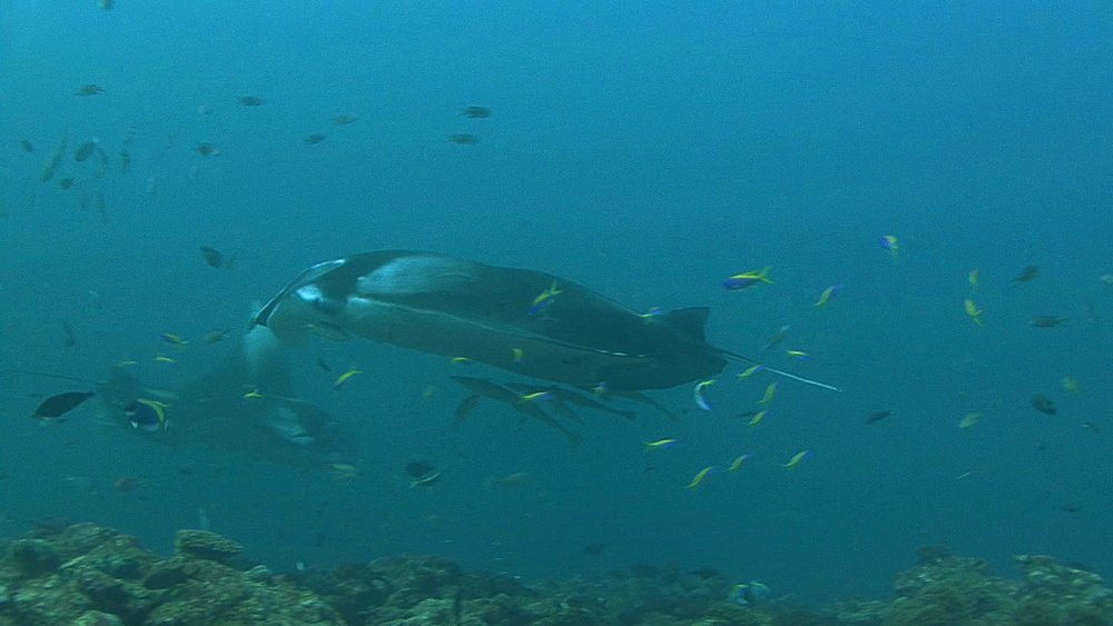 Manta (Manta biristris) comes by close over cleaning station, Indian ocean, Maldives