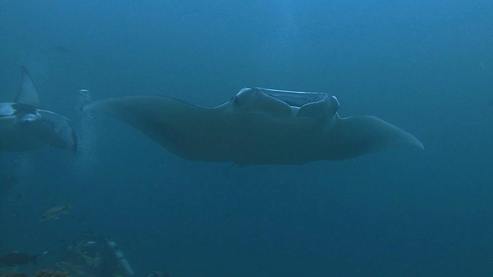 Manta (Manta biristris,) over diver,see flashes, Indian ocean, Maldives - 958-1035