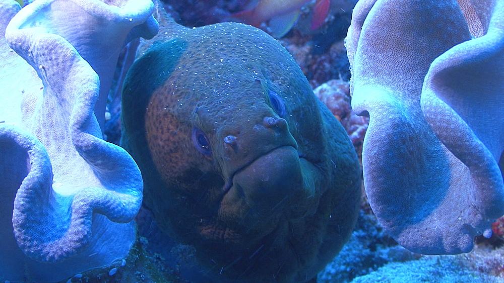 Moray (Gymnothorax javanicus) face on, Indian ocean, Maldives