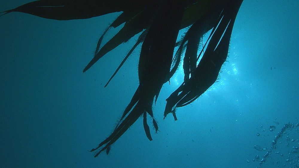 POV through kelp, Guernsey, English Channel, UK
