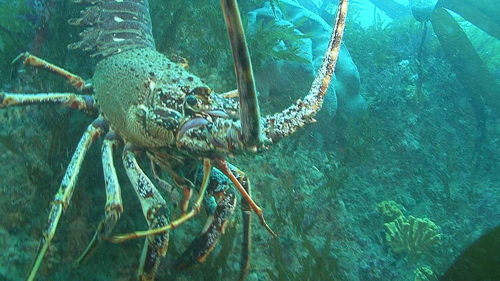 spiny lobser.crayfish,(Palinurus elephas) backs up reef, Guernsey English Channel, UK - 958-1130