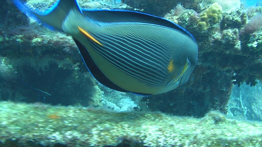 Surgeon fish (Acanthurua sohal) BCU on a wreck,  Red sea, Egypt - 958-1149