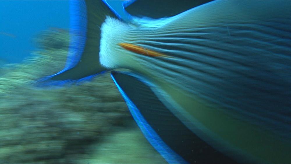 Surgeon fish (Acanthurua sohal) detail of scalpel, Red sea, Egypt - 958-1151