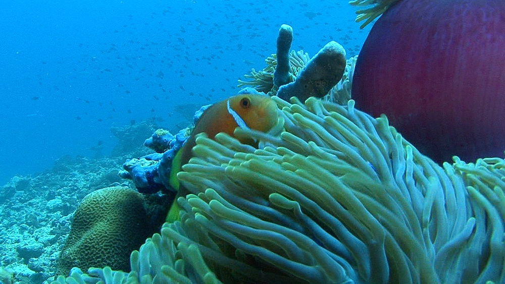 anemone  tentacles fish on top. Maldives, Indian Ocean. - 958-387