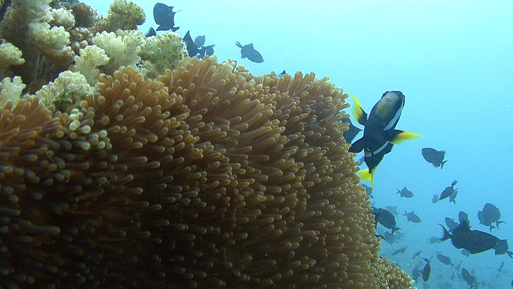Clown fish and anemone. Maldives, Indian Ocean. - 958-414