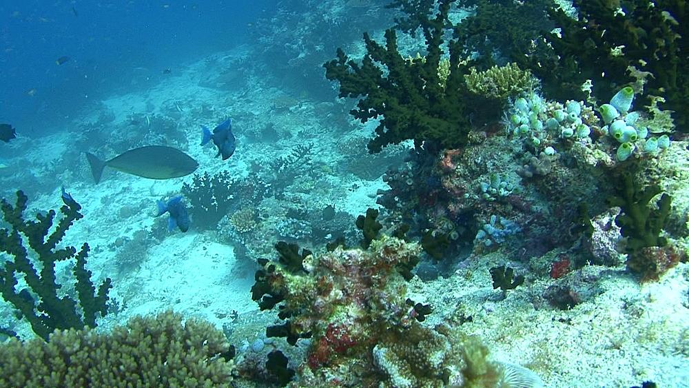 Damsel fish swimming through coral. Maldives, Indian Ocean. - 958-419