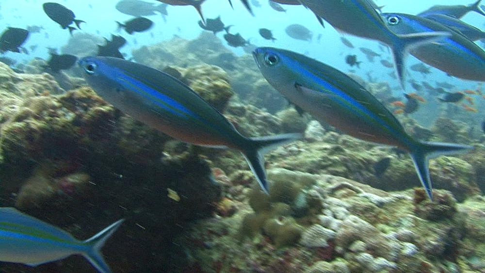 fusseliers. Maldives, Indian Ocean. - 958-430