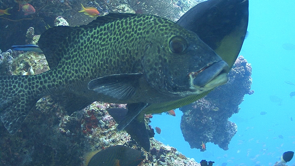 Grouper being cleaned. Maldives, Indian Ocean.
